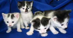 Four grey and white kittens